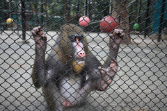 Sad mandrill in cage Stock Images