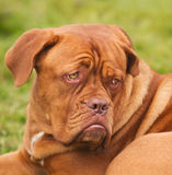 Sad Mastiff Stock Photography