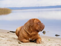 Sad mastiff lying on the lake coast Royalty Free Stock Images