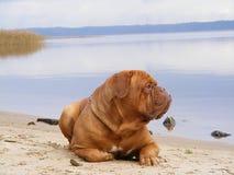 Sad mastiff lying on the lake coast. Sad chestnut french mastiff resting on the lake coast Royalty Free Stock Images