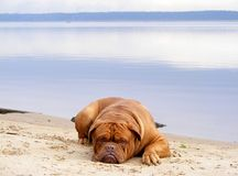 Sad mastiff lying on the lake coast Stock Photos