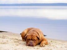 Sad mastiff lying on the lake coast. Sad chestnut french mastiff resting on the lake coast Stock Photos