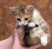 Sad miserable homeless kitten in hands in shelter. Little sad miserable homeless kitten in hands in shelter stock photos