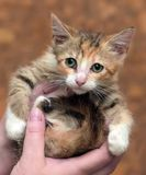 Sad miserable homeless kitten in hands in shelter. Little sad miserable homeless kitten in hands in shelter stock images