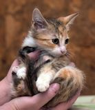 Sad miserable homeless kitten in hands in shelter. Little sad miserable homeless kitten in hands in shelter royalty free stock photography
