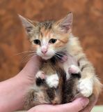 Sad miserable homeless kitten in hands in shelter. Little sad miserable homeless kitten in hands in shelter royalty free stock photo