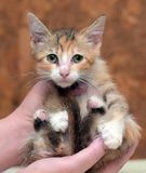 Sad miserable homeless kitten in hands in shelter. Little sad miserable homeless kitten in hands in shelter royalty free stock image