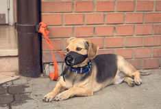 Sad mongrel dog waiting for owner. In the street Stock Photography