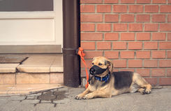 Sad mongrel dog waiting for owner. In the street Royalty Free Stock Photo