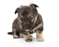 Sad mongrel puppy Royalty Free Stock Photos