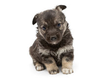 Sad mongrel puppy Stock Image