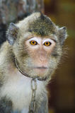 Sad Monkey. Asian macaque monkey in captivity with a chain around his neck Royalty Free Stock Photo