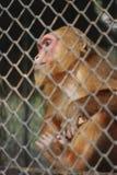 Sad Monkey. Royalty Free Stock Photo