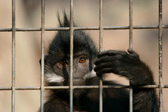 A sad monkey. A monkey prisoned in a cage Royalty Free Stock Photos