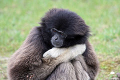 Sad monkey Stock Photos