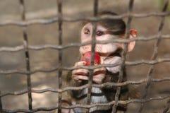 Sad monkey with apple. Sad monkey behind the net eating apple stock image