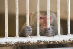 Sad monkey behind bars Stock Image