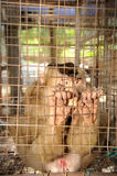 Sad Monkey in a cage. Close up of Sad Monkey in a cage Royalty Free Stock Images