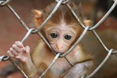 Sad Monkey 2. Sad monkey in a cage Royalty Free Stock Photography