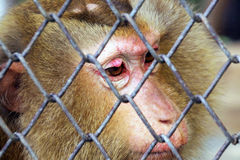 Sad Monkey in a cage Royalty Free Stock Photo
