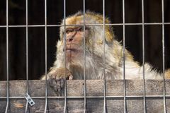 Sad monkey in cage at zoo. Lonely macaque in cell looking forward. Caged hairy primate at zoo. Cruelty and sadness concept. Freedom concept. Wild animal in royalty free stock photo