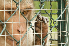 Sad monkey caged Royalty Free Stock Image