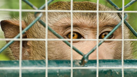 Sad monkey caged Stock Images