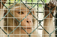 Sad monkey caged Royalty Free Stock Photography