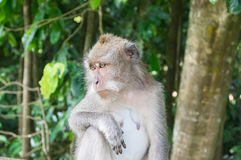 Sad monkey in forest park Royalty Free Stock Images