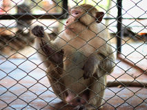 Sad monkey in jail Royalty Free Stock Photography