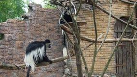 Sad  monkey Kolobus. For background Royalty Free Stock Photo