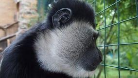 Sad  monkey Kolobus. For backgrounds Royalty Free Stock Photos