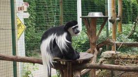 Sad  monkey Kolobus. For backgrounds Royalty Free Stock Images