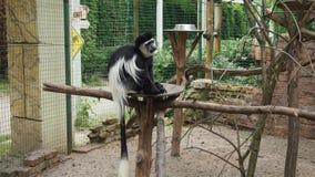 Sad  monkey Kolobus. For backgrounds Royalty Free Stock Photo