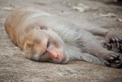 Sad monkey Royalty Free Stock Photo