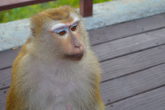 Sad monkey looking for something. Her face is nice Stock Images