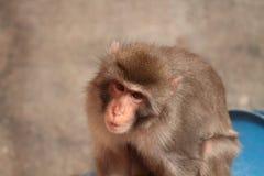 Sad monkey Royalty Free Stock Photos