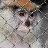 Sad monkey portrait Royalty Free Stock Photos