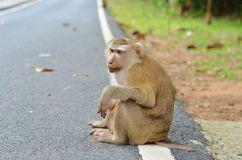 Sad monkey sitting on the side of the road markings and is waiting for a lift Stock Photos