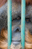 Sad monkey in the zoo Royalty Free Stock Image