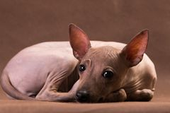 Sad nonhairy  the doggie lies. Sad nonhairy nthe doggie lies on a brown background and sadly looks at the viewer royalty free stock photo