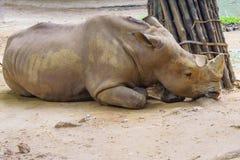 SAD noshörning Arkivfoto