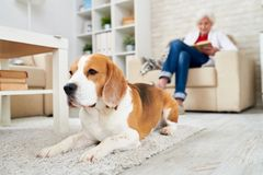 Depressed dog lying on carpet. Sad old Beagle dog lying on carpet and looking straight while senior woman reading in armchair in background royalty free stock image