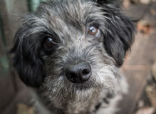 Sad old dog. Gray shaggy crossbreed. Nose close up. Stock Photography