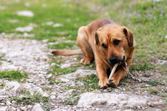 Sad old dog Royalty Free Stock Images