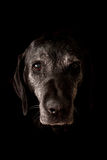 Sad Old Dog Looking at the Camera Stock Photo