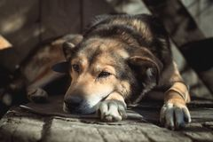 Sad old dog lying on a doghouse stock photo