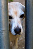 Sad old dog in shelter. An old, faded beagle longing to be adopted from animal shelter Stock Image