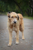 The sad old stray dog. The old sad stray dog is on the road in the village looking in your eyes Stock Images