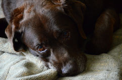 Sad old tired dog - Chocolate Labrador retriever Stock Images